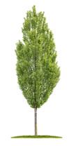 Fastigiate Hornbeam (Carpinus betulus 'Fastigiata')