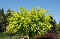 Golden Elm (Ulmus glabra 'Lutescens')