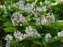 Indian Bean Tree (Catalpa bignonioides)