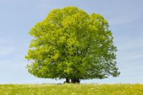 Linden Tree (Tilia cordata)