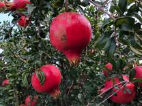 Parfianca Pomegranate