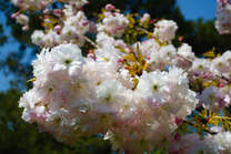 Prunus 'Mt Fuji-Shirotae' Flowering Cherry