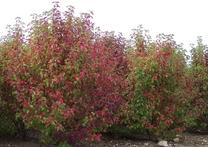 Pyrus calleryana 'Red Spire'