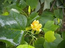 Tulip Tree (Liriodendron tulipifera 'Aureomarginatum')