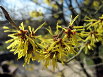 Witch Hazel Hamamelis x intermedia 'Sunburst'