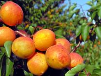 Hunter Apricot