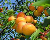 Tilton Apricot