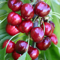 Early Burlat Cherry