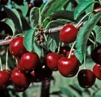 Stella compact Cherry