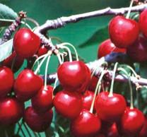 Van Cherry