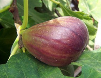 Preston Prolific Fig