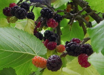 Hick's Fancy Mulberry