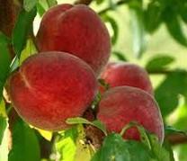 Flavourcrest Peach