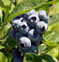 Brigitta Blueberry