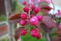 Aldenhamensis Crabapple (Malus x purpurea aldenhamensis)