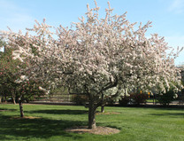 Japanese Flowering Crabapple (Malus floribunda)