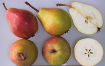 Clapp's Favourite Pear (semi-dwarf)