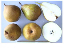 Doyenne Du Comice Pear