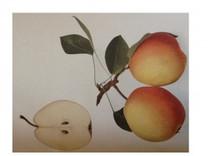 Flemish Beauty Pear (medium)