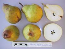Packham's Triumph Pear (semi-dwarf)