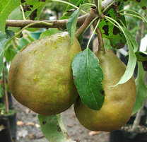 Winter Cole Pear (semi-dwarf)