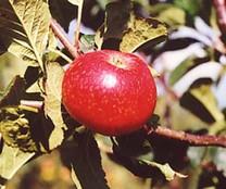 Beauty of Bath Apple (dwarf)