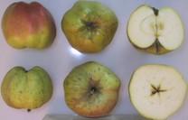 Calville Blanc d'Hiver Apple (dwarf)