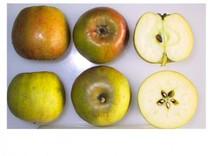 Court of Wick Apple (dwarf)