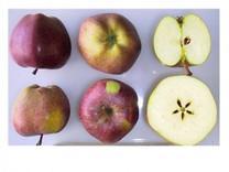Delicious Apple (dwarf)