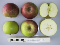 Fortune Apple (dwarf)