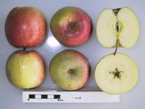 Fuji Apple (dwarf)