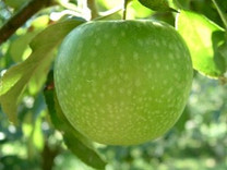 Granny Smith Apple (dwarf)