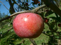 Yates Apple (dwarf)