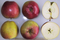 Dorsett Golden Apple (dwarf)