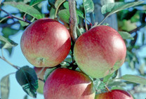 Braeburn Apple (medium)