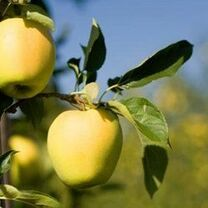Ein Shemer Apple (medium)