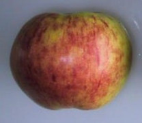 Gravenstein Apple (medium)