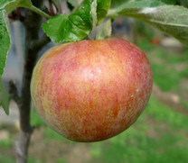 Irish Peach Apple (medium)