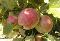 Yarlington Mill Apple (medium)