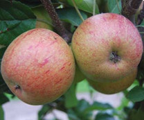 Forfar Pippin Apple (medium)
