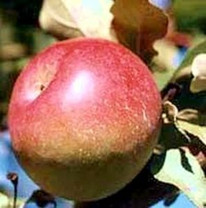 Snow Apple (Fameuse) Apple (tall)