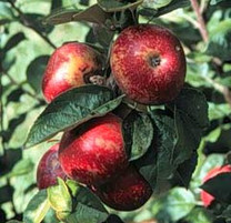 Kingston Black Apple (tall)
