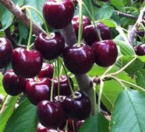 Blackboy Cherry