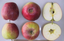 Bec d'Oie Apple (dwarf)