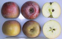 Fenouillet Gris Apple (dwarf)