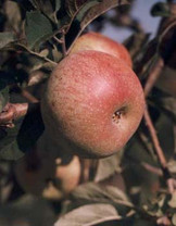 Foxwhelp Apple (medium)