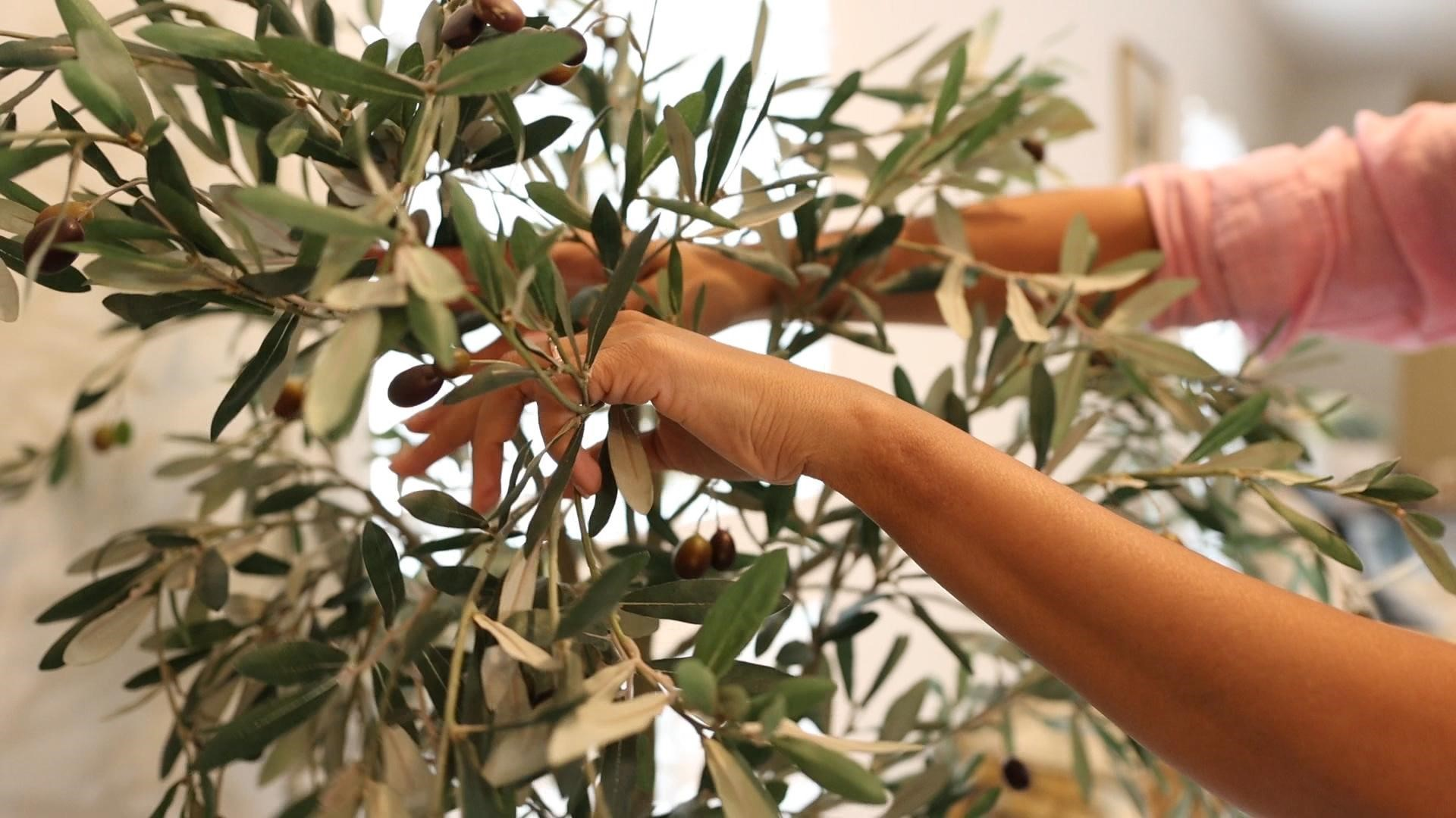 Amitha arranging the olive tree branches