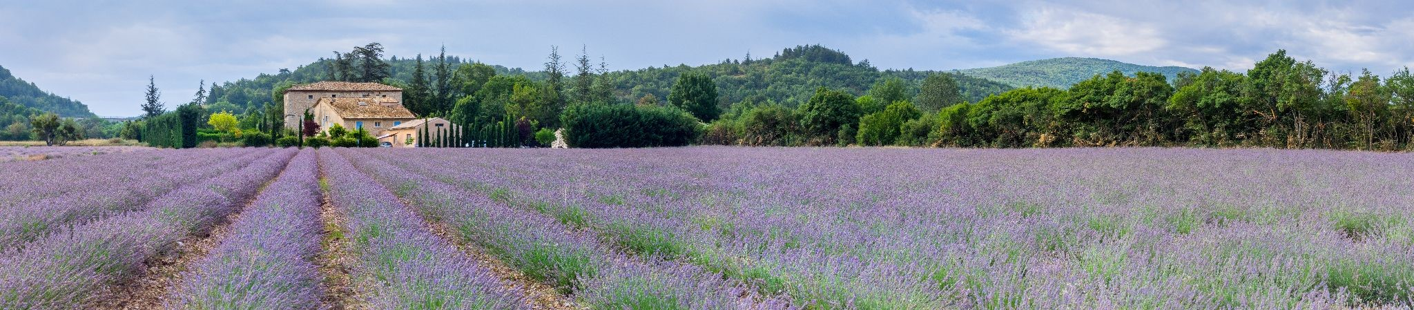 A countryside field of lavender flowers with French cottage farmhouse in the distance.