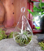 "Tillansia ""Air Plant"" in Hanging Orb"