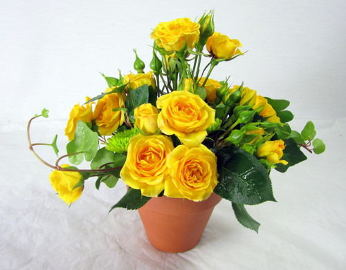 Petite yellow spray roses in a clay pot with green ivy.